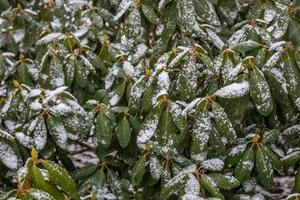 Snow-covered leaves after a winter storm