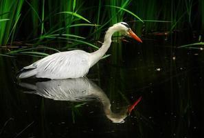 Heron swimming on water