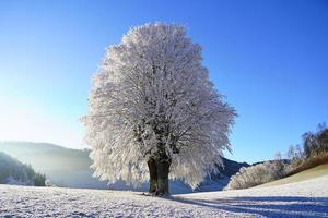 Iced trees in winter