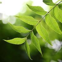 Medicinal plant - neem leaves photo