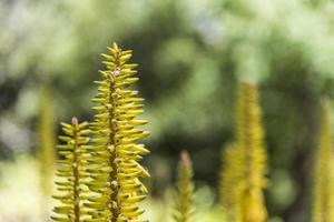 planta de aloe vera foto