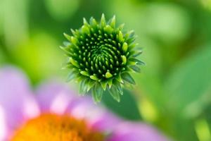 Echinacea Green