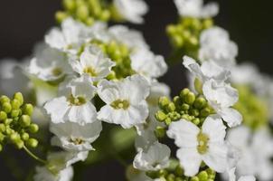 Blossoming horseradish plant photo
