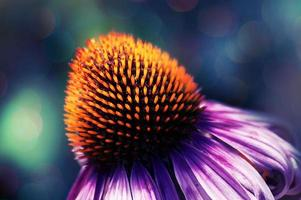 Artistic effect - echinacea flower photo