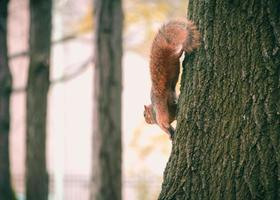 Brown squirrel on a tree photo