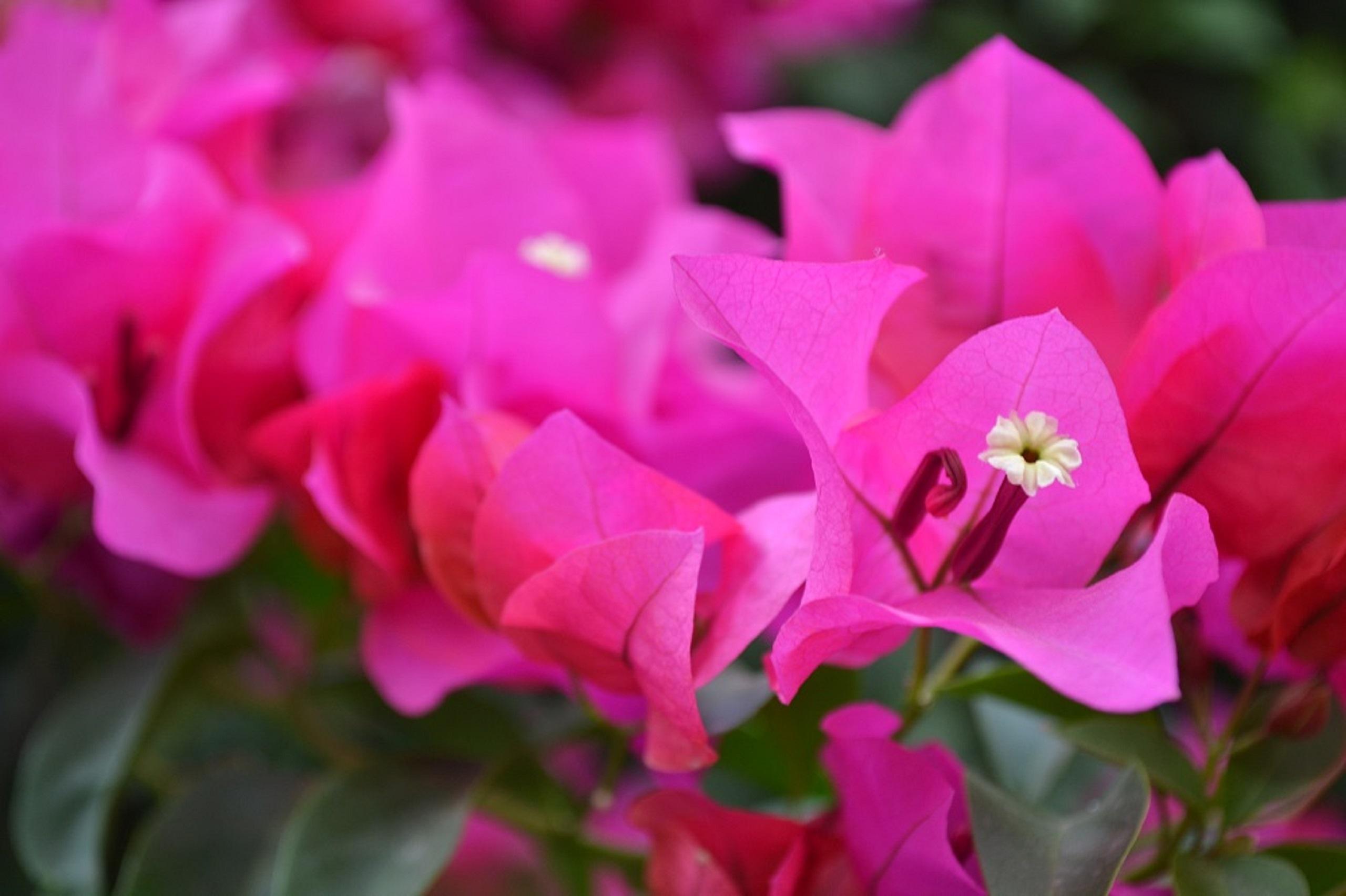 flores de bugambilia rosa