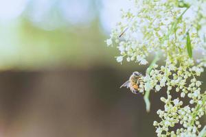 Honeybee on petaled flower