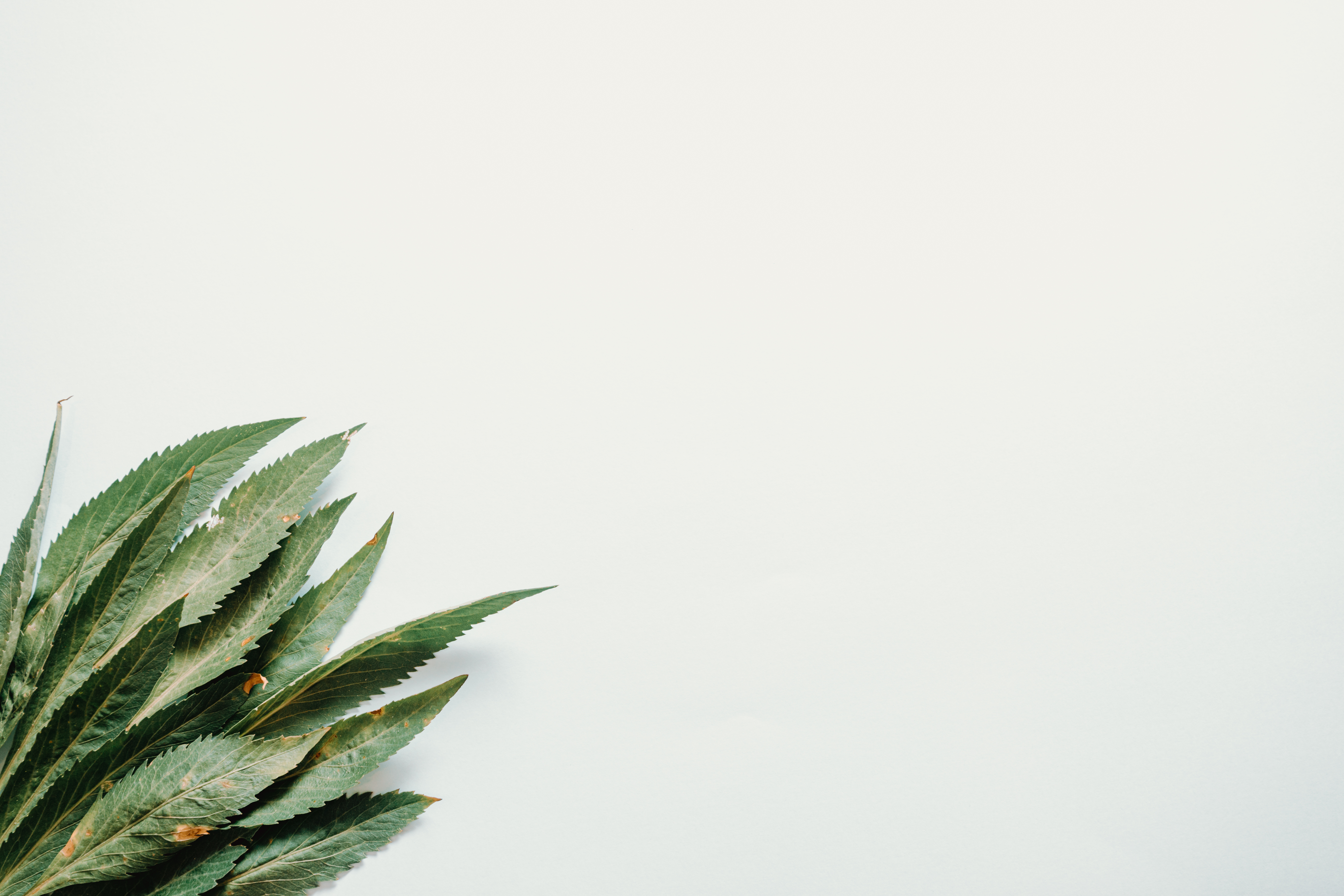 Long green leaves on white background