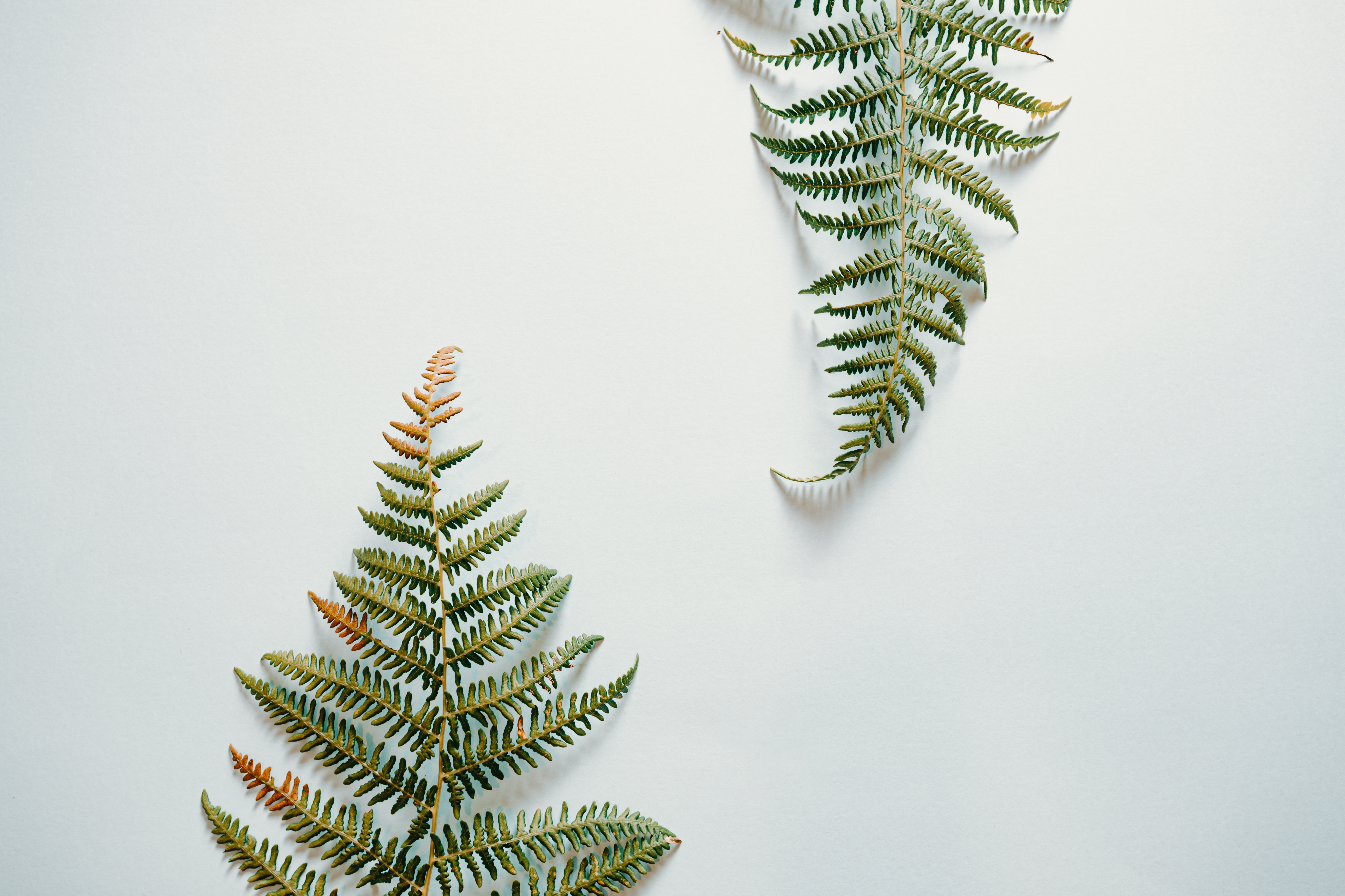 Fern leaves over a white background