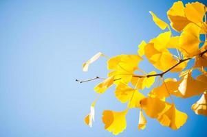Primer plano de la rama de un árbol de ginkgo con hojas amarillas foto