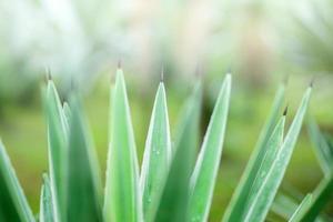planta de agave foto