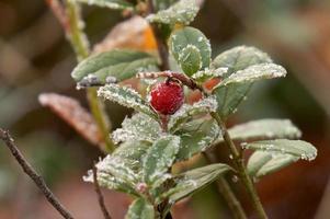 Frozen cowberry photo
