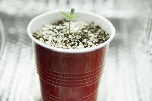 Indoor Cannabis seedling in red solo cup
