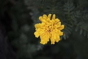 Yellow chrysanthemum in garden photo