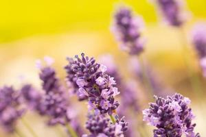 Photo of lavender blossoms.