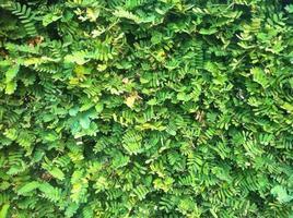 tamarind leaf photo