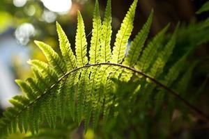 beautiful fern in dense forest in sunlight photo