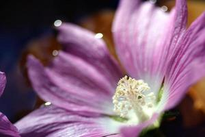 fleurs, prodige rose