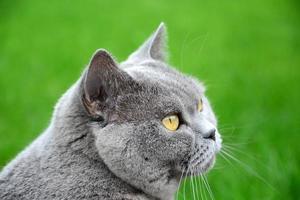 retrato de gato azul britânico