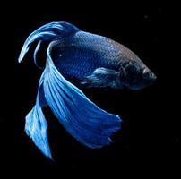 pez Betta sobre fondo negro