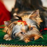Cerrar lindo perro yorkshire terrier foto