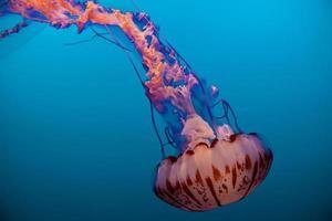 Pink and orange jellyfish  photo