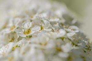 White flower blossom photo