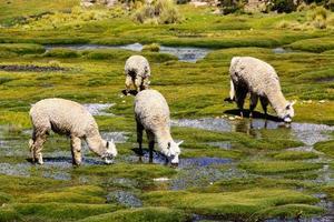 Flock of alpacas grazing