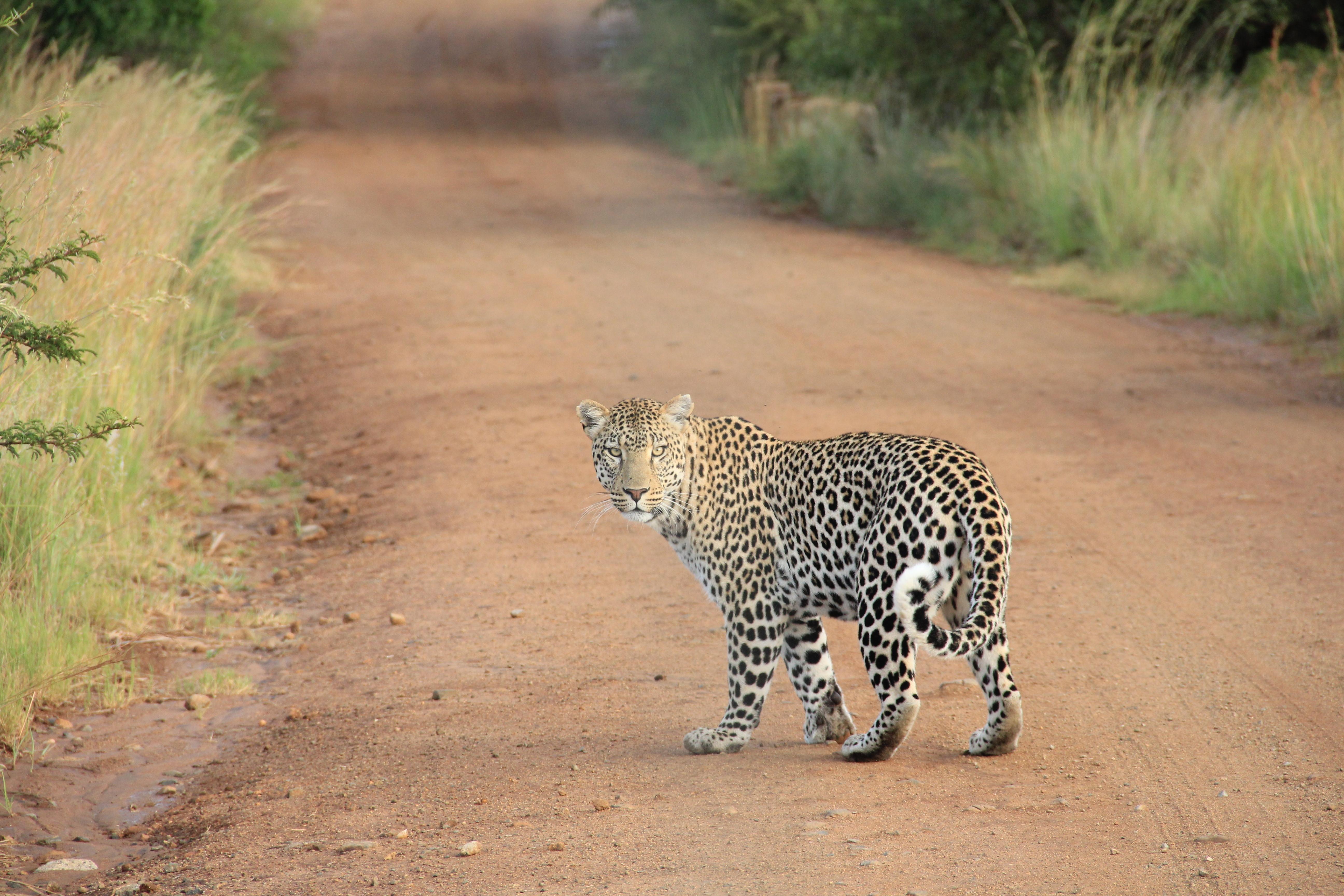 leopardo en camino de tierra