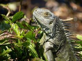 Green iguana in the bushes photo