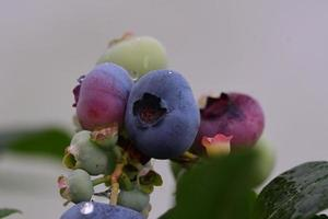 Blueberries in varied stages of ripeness photo