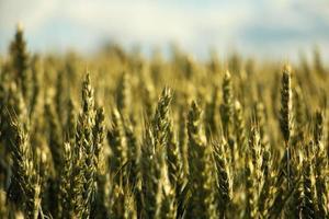 campo de trigo en el campo