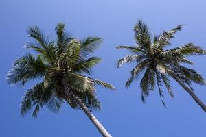 Palm trees in blue sky photo