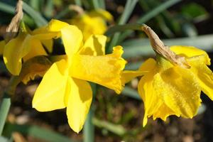 Yellow daffodils in bright sunshine