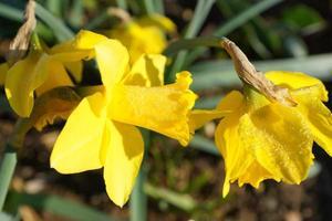 Narcisos amarillos en un sol brillante