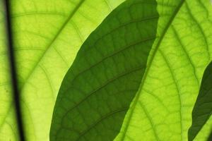 folhas verdes de manga foto