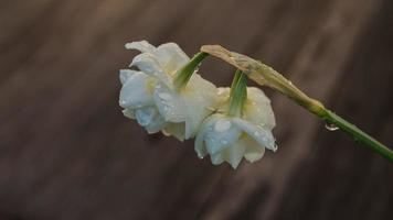 flores blancas con rocío.