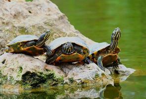 Turtles at a lake