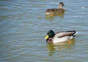 patos en un lago