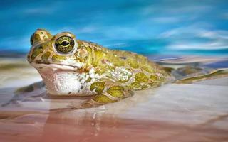 Frosch in einem Pool foto