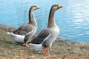 dos gansos cerca del lago