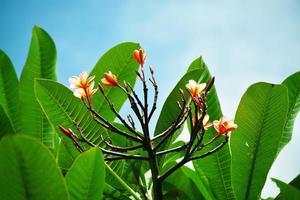 Exotic frangipani plant