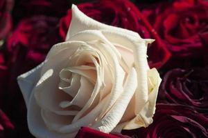 Single white rose  photo