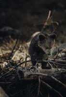 Baby bear in the woods photo
