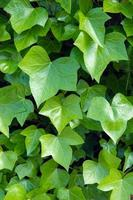 exuberantes hojas de hiedra verde
