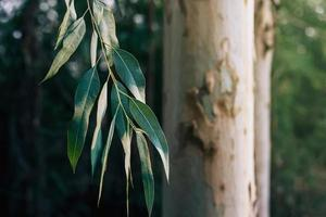 Eucalyptus tree leaves
