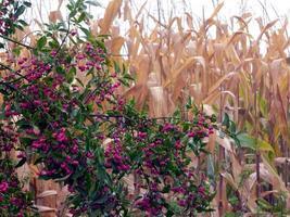 bayas rosadas que crecen delante de un campo de maíz