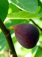 Fig fruit growing on branch