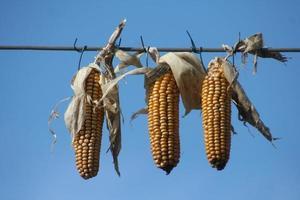 Corn hanging on line