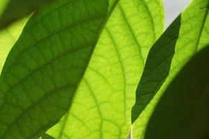 Fresh green mango leaves